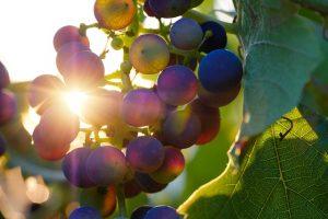 Weintrauben für Wein